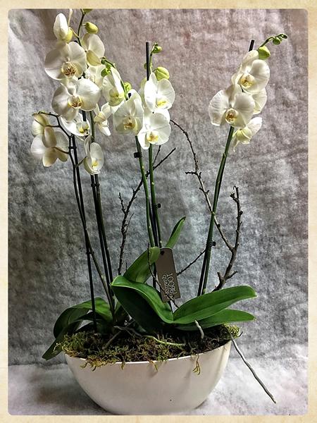 Montaje Phalaenopsis Aniversario