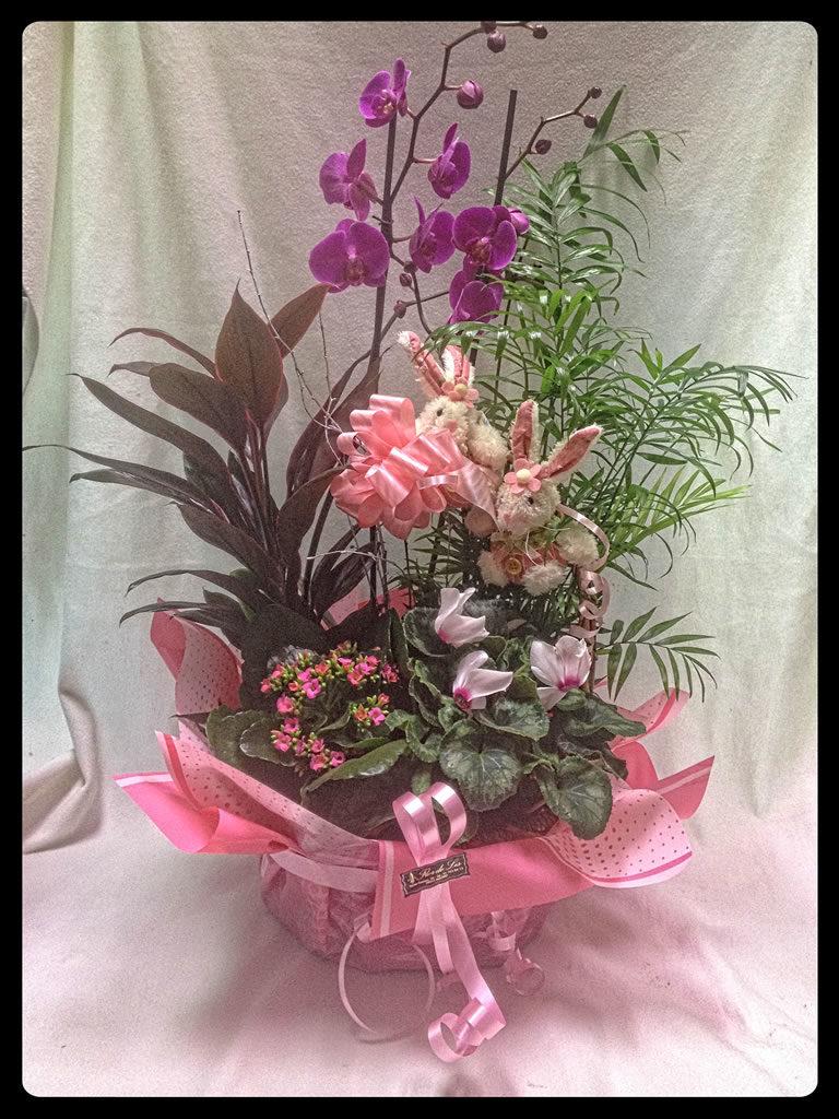 Cesta plantas variadas y phalaenopsis