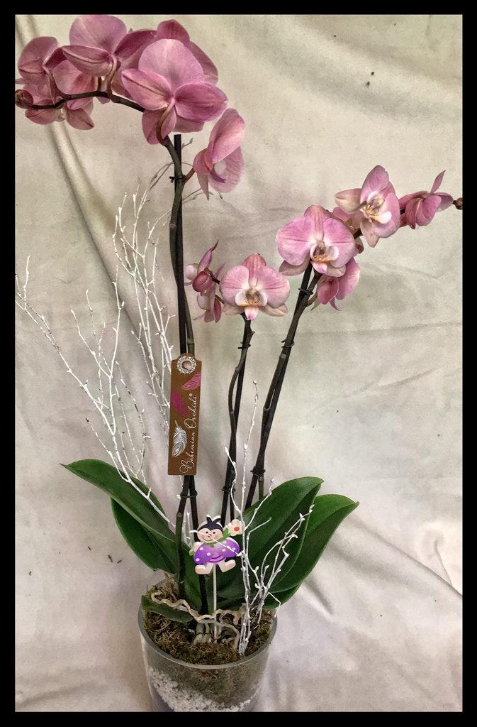 Phalaenopsis en base de cristal 60€